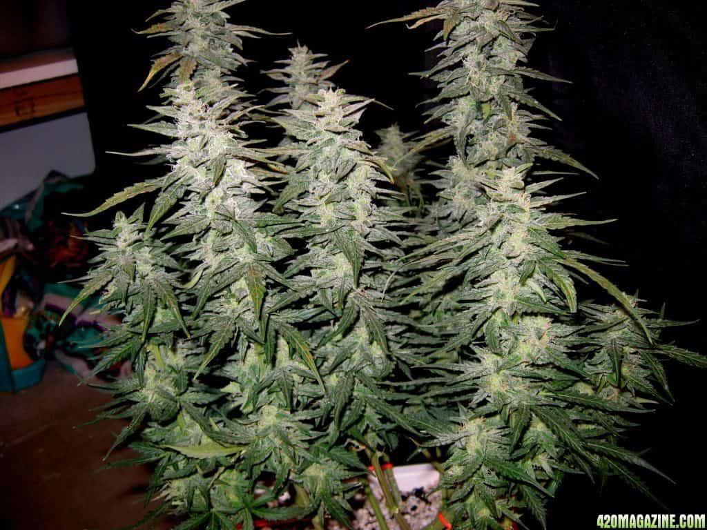 Dwarf Germplasm: the Key to Giant Cannabis Crops